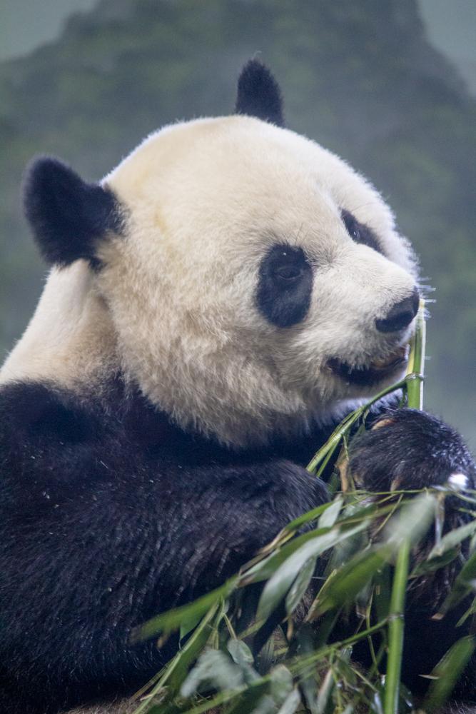 Panda im Smithsonian National Zoo