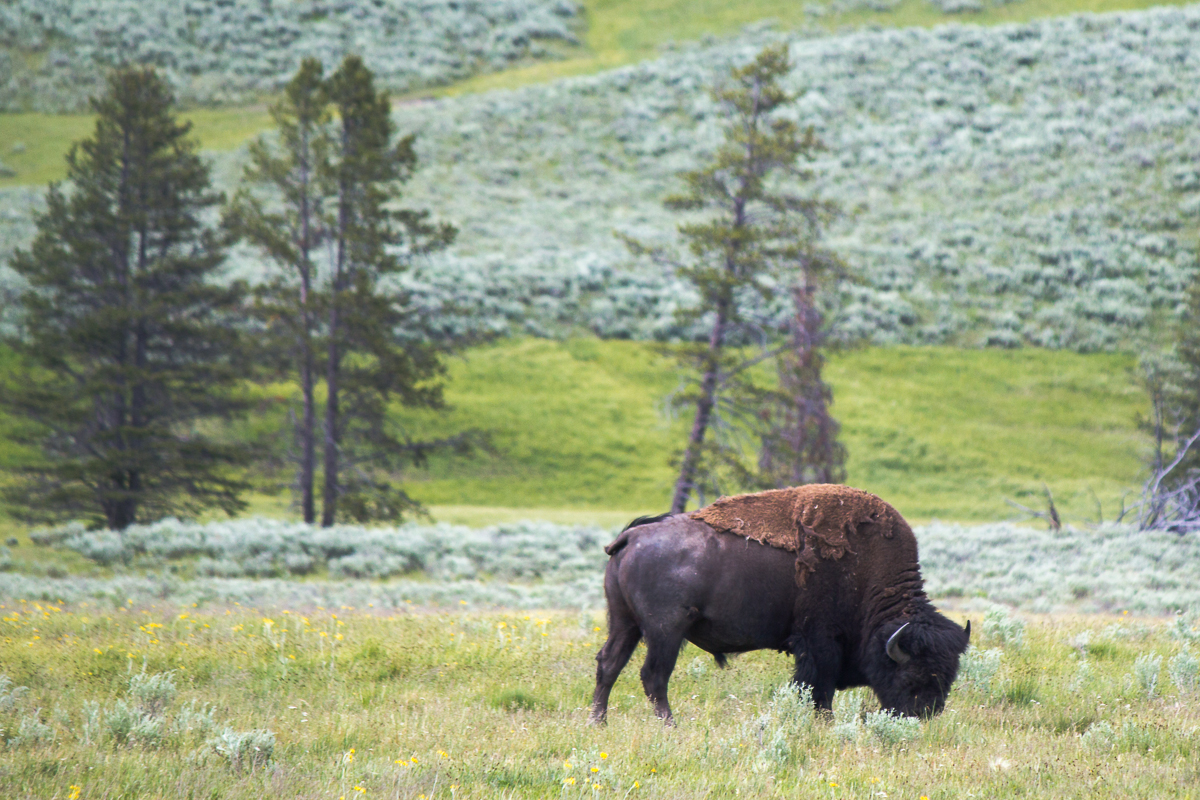 Bison im Yellowstone Nationalpark